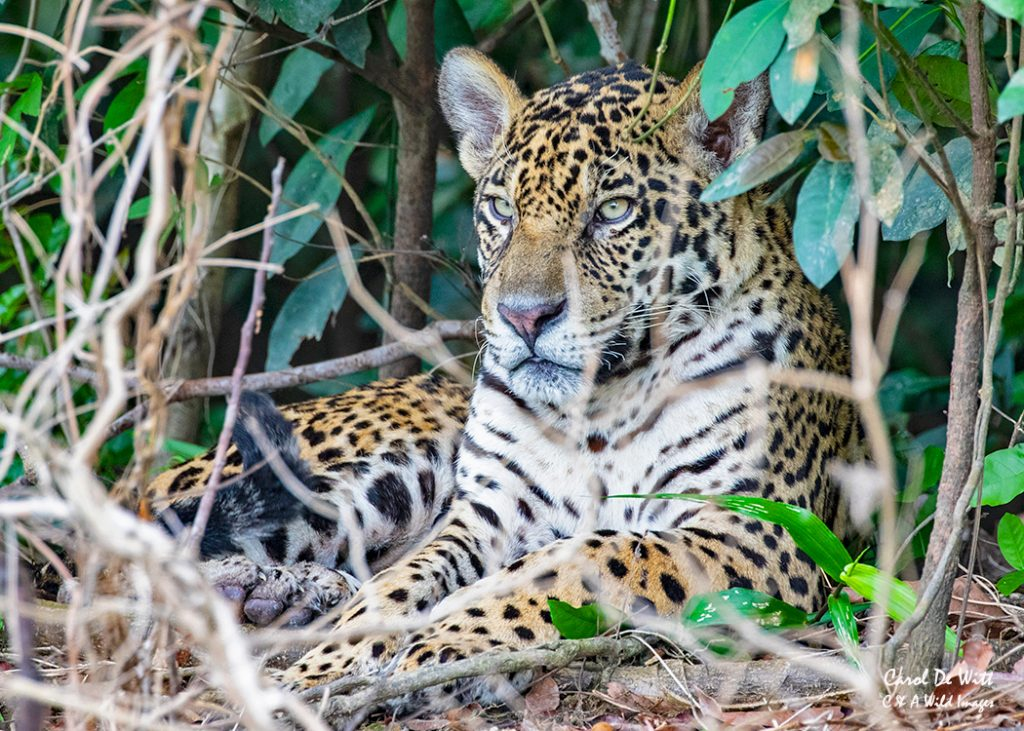 One of the Jaguar brothers (Tore) trying to sleep on the river bank