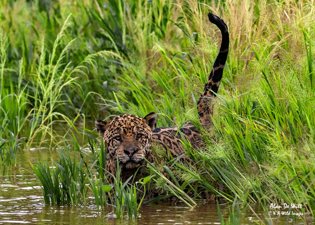 Male Jaguar hunting the Capybara in the reeds