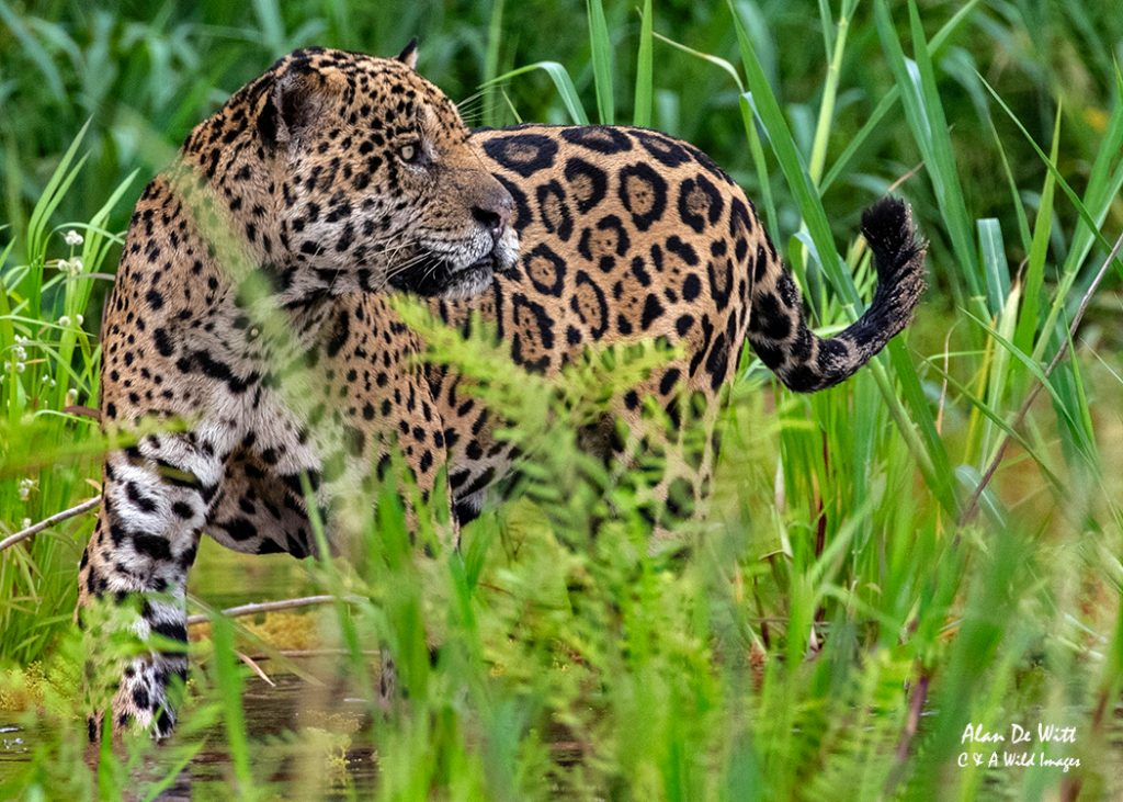 Jaguar catches a movement in the reed-bed