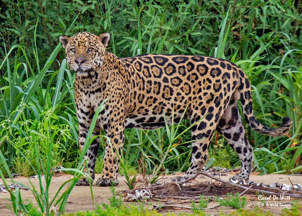 More Jaguars on the Cuiaba River