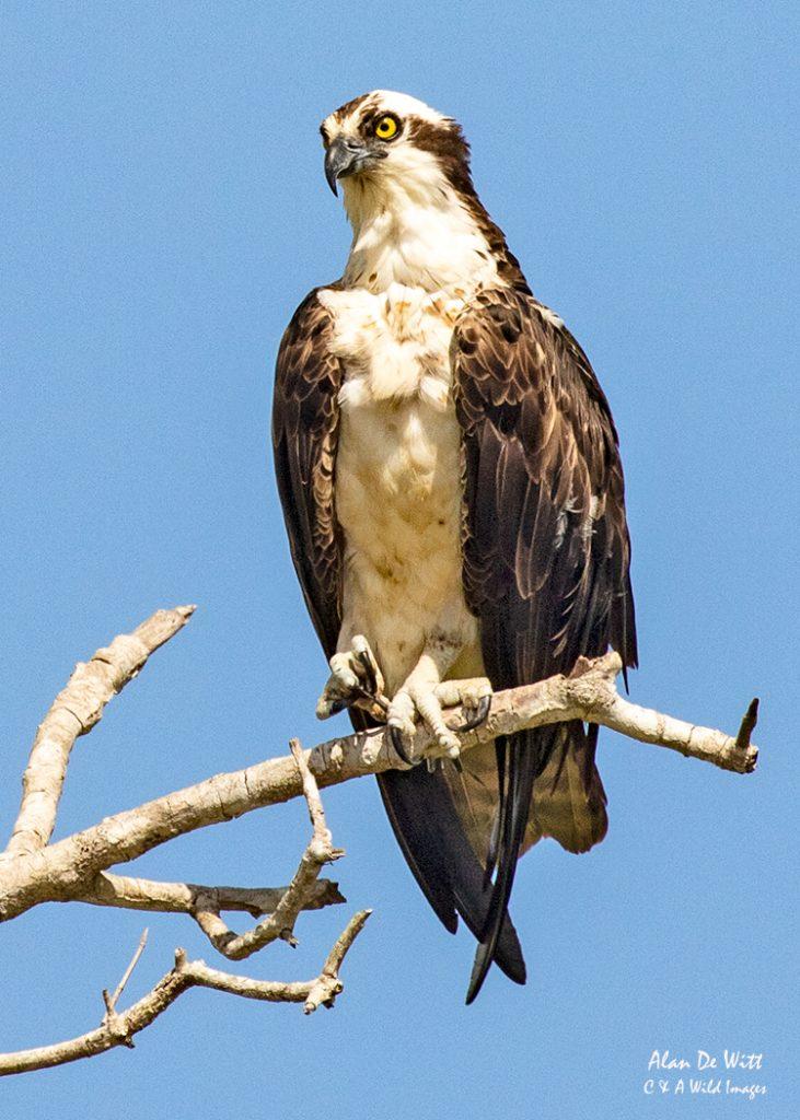 Osprey at its regular hunting spot