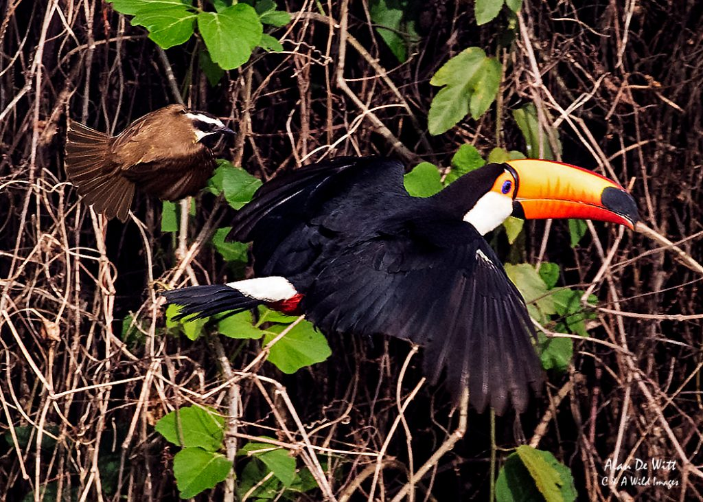 Toucan being chased off by a Great Kiskadee