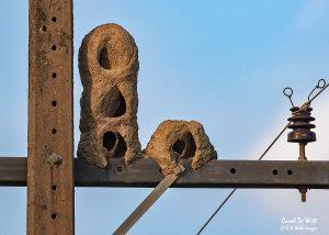 Oven bird nests