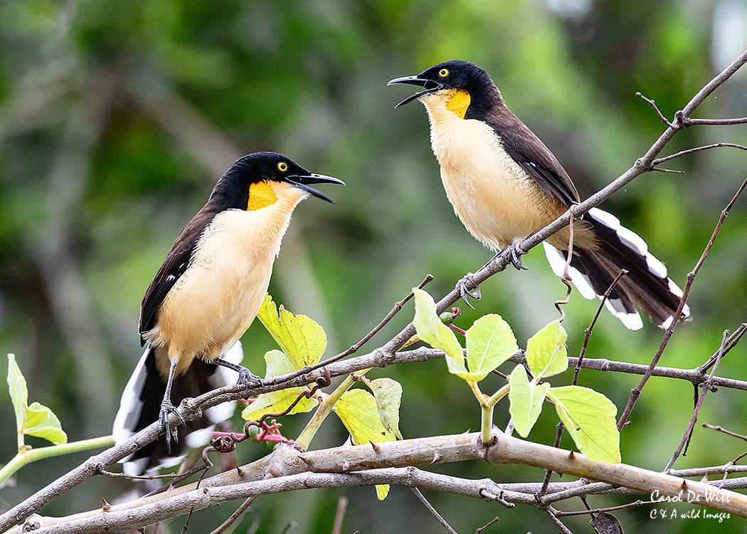 Black-capped Donacobius Dueting