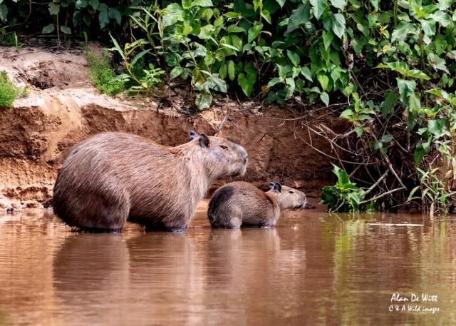Capybara with young