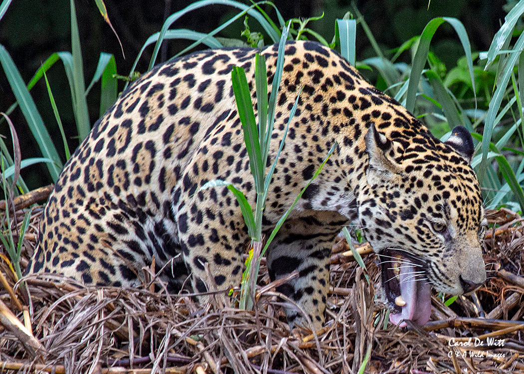 Jaguar (Tore) regurgitating grass