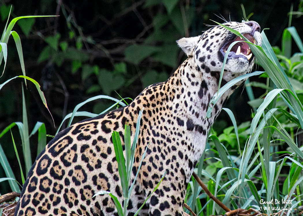 Jaguar (Tore) eating grass
