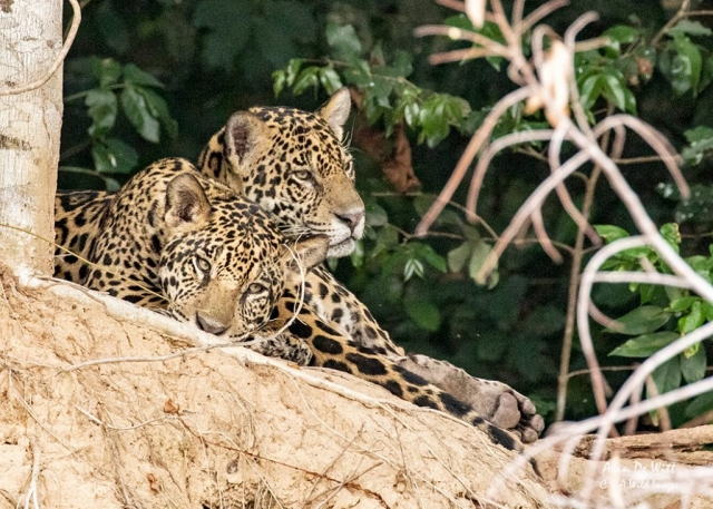 Jaguar brothers
