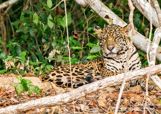 Jaguar (male)