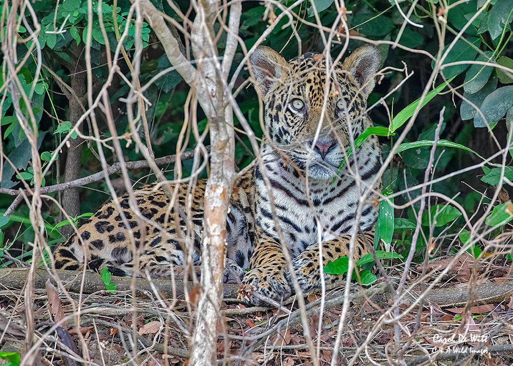Jaguar (Kim) resting
