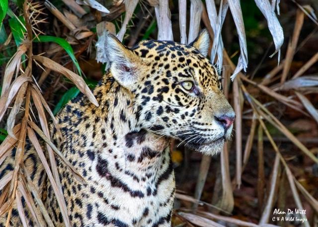 Jaguar (Tore) resting