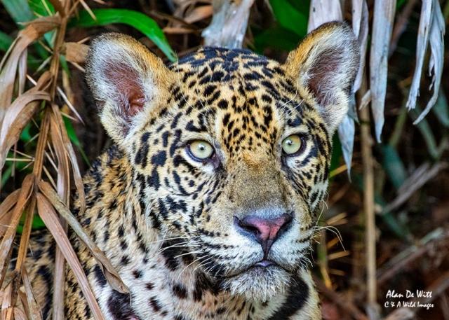 Jaguar (Tore) head-on