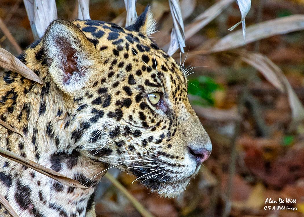 Jaguar (Tore) head shot