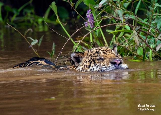 Jaguar (Geoff) swimming