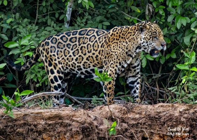 Jaguar (Geoff) male