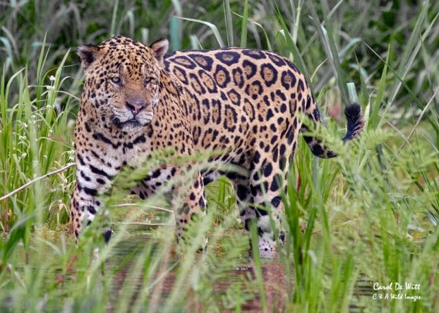 Jaguar (Geoff)