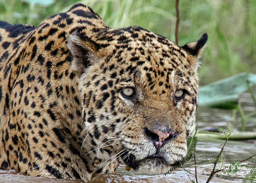 Jaguar (Geoff) close up
