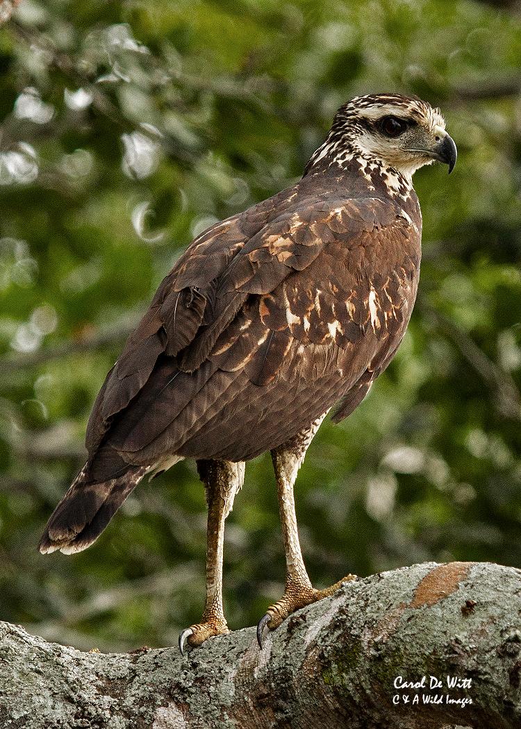 Juvenile Black-collared Hawk