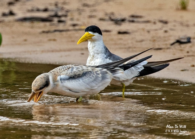 Large-billed Tern and chick