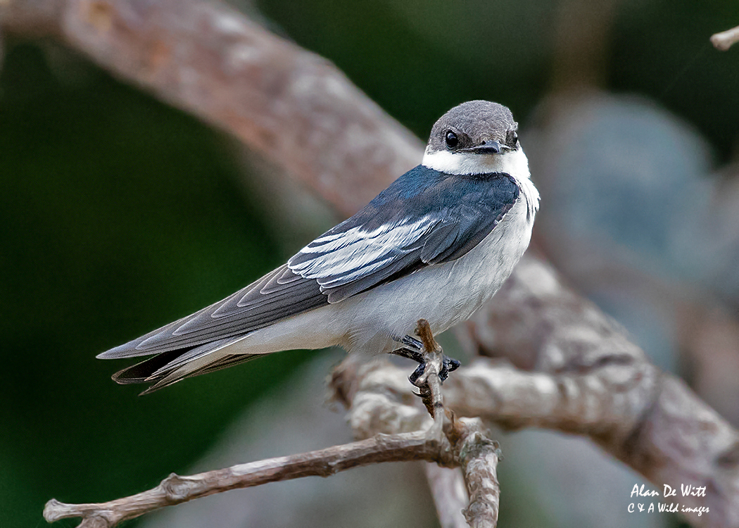 Southern Rough-winged Swallow