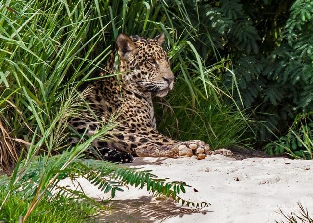 Jaguar (Tore)