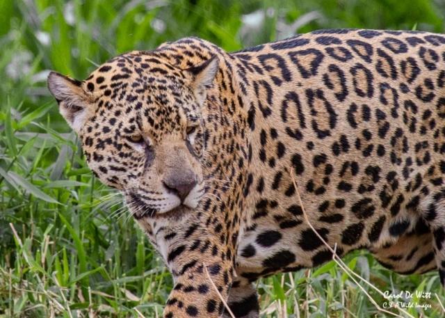 Jaguar (Ginger)