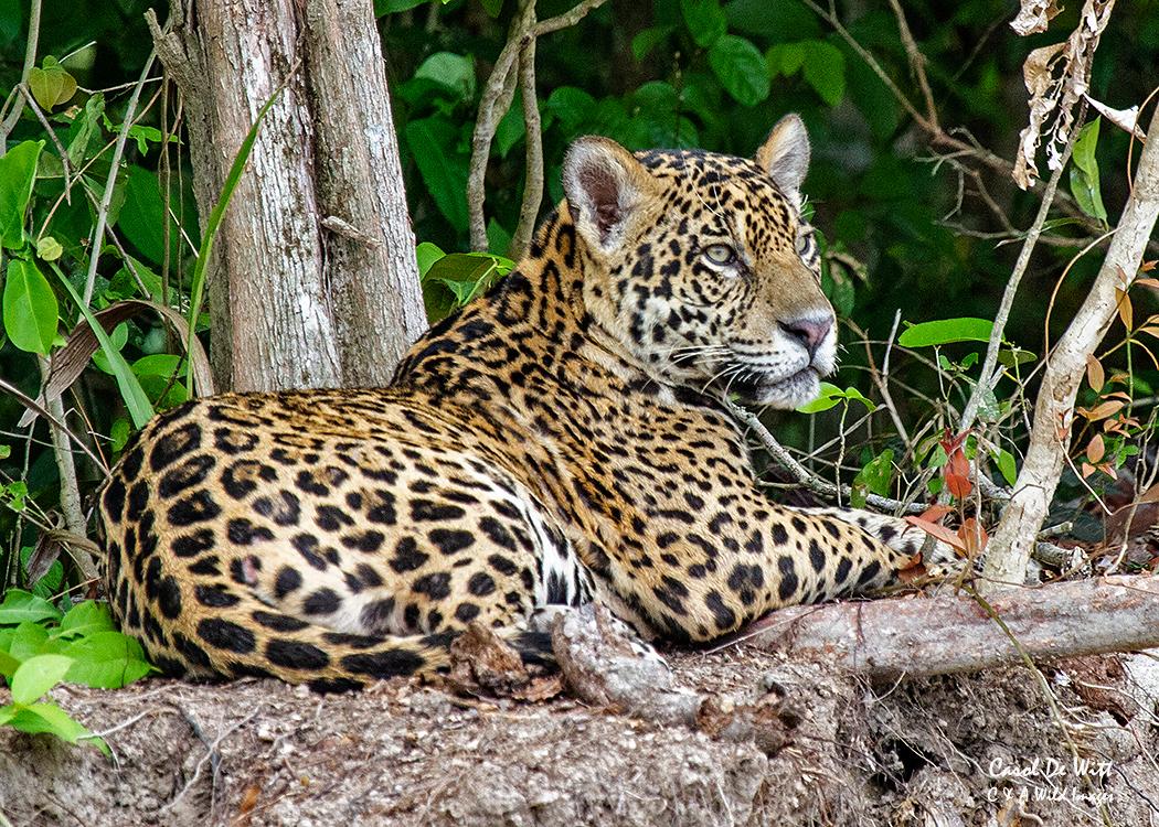 Jaguar (Kim)