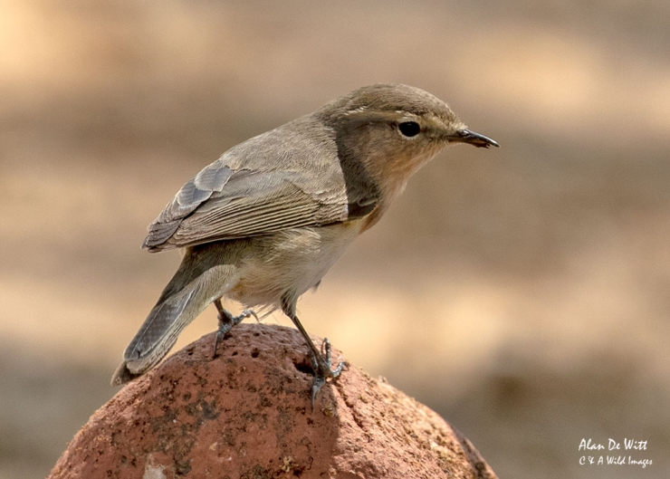Common Chiffchaff in Satpura National Park