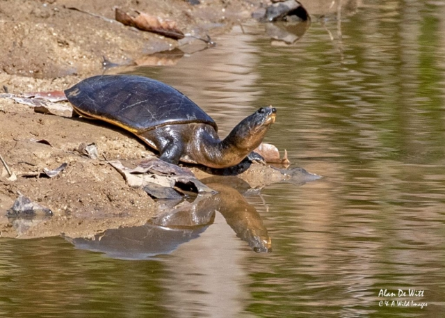 Indian Softshell Turtle,