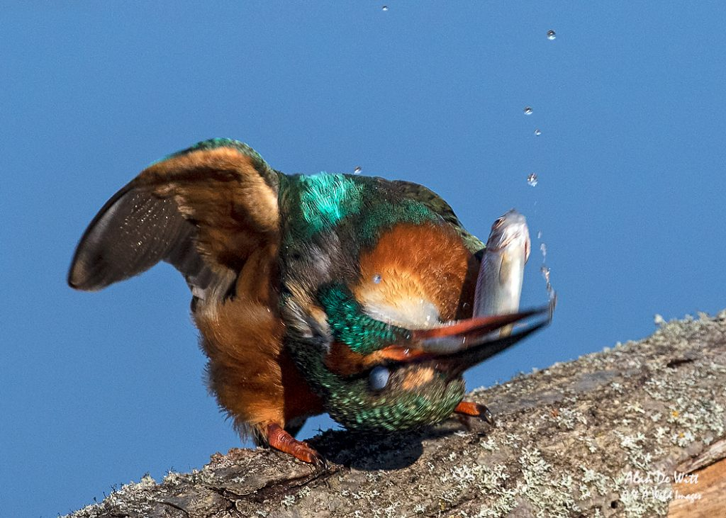 Kingfisher beating its the fish to break the bones for easier swallowing