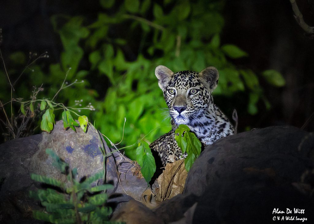 Young Leopard cub captured on night drive in the buffer zone at Satpura