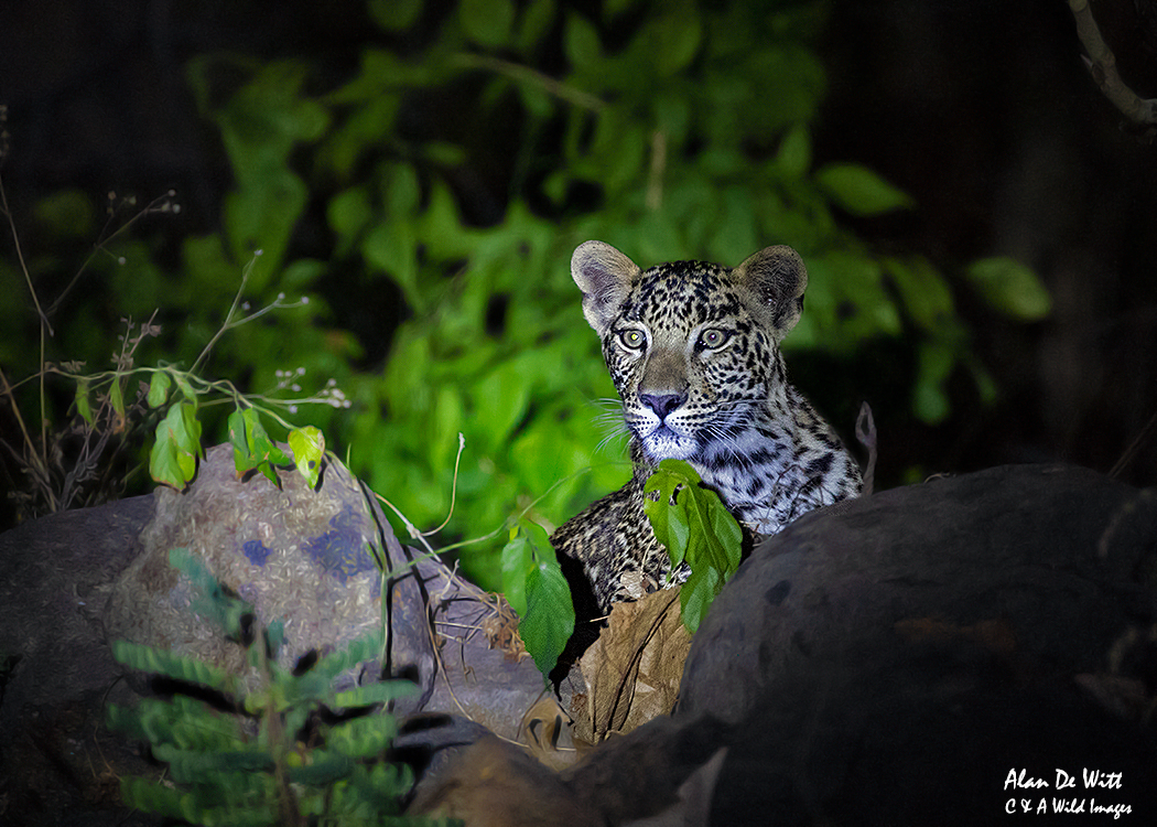 Leopard Cub in Satpura Buffer Zone