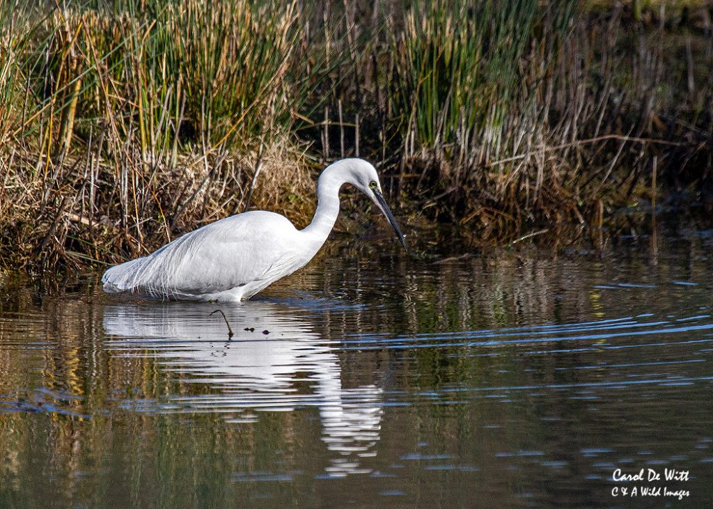 Second of the Little Egret's in front of Bernard's hide