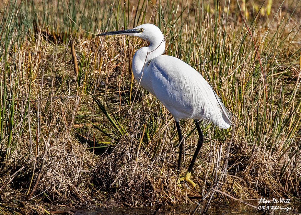Little Egret at Lackford Lakes