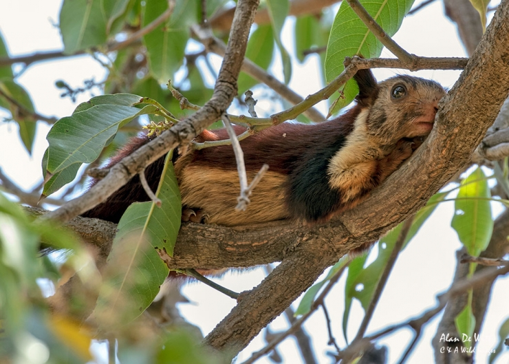 Malabar Giant Squirrel in Satpura National Park