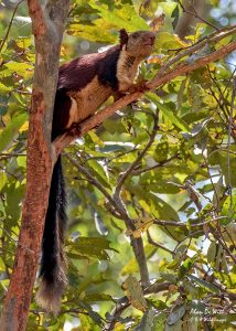 or Indian Giant Squirrel