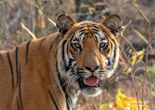 Tiger in Satpura