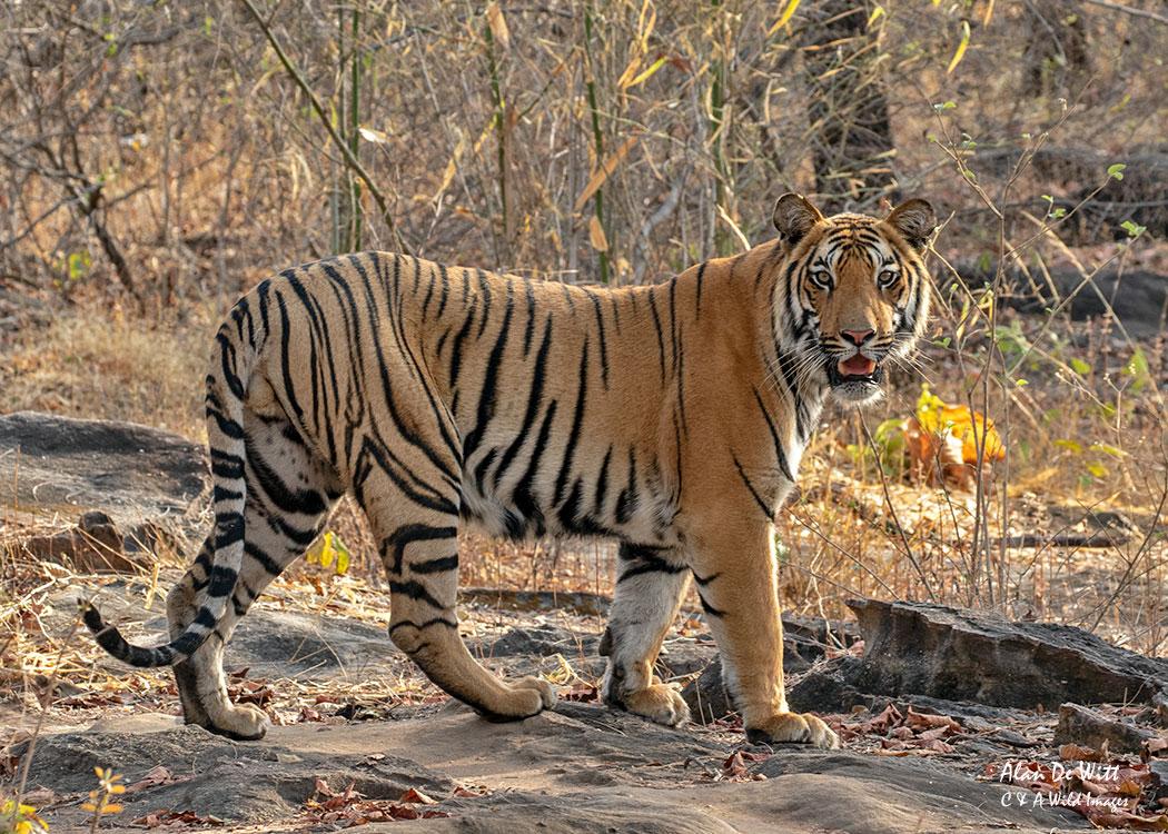 Male Satpura Tiger