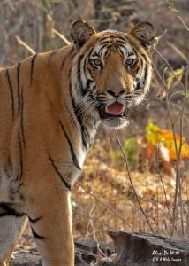 Sub Adult Bengal Tiger ( Male ) in Satpura NP