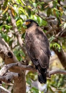 Crested-serpent Eagle