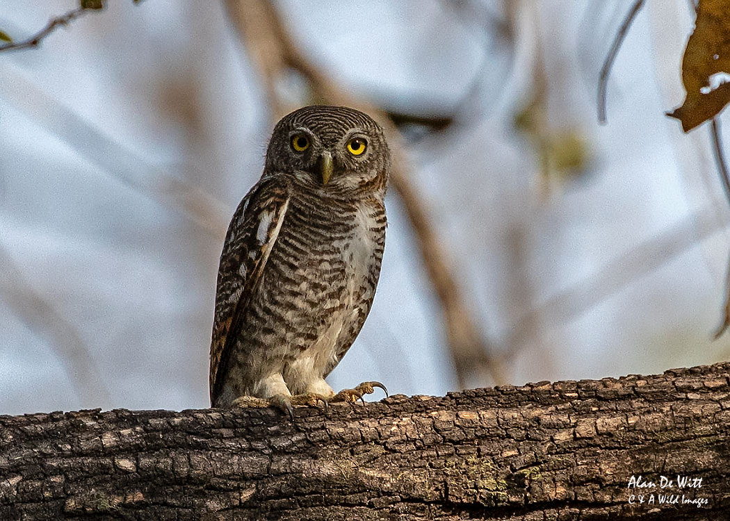 Jungle Owlet in Satpura Tiger Reserve