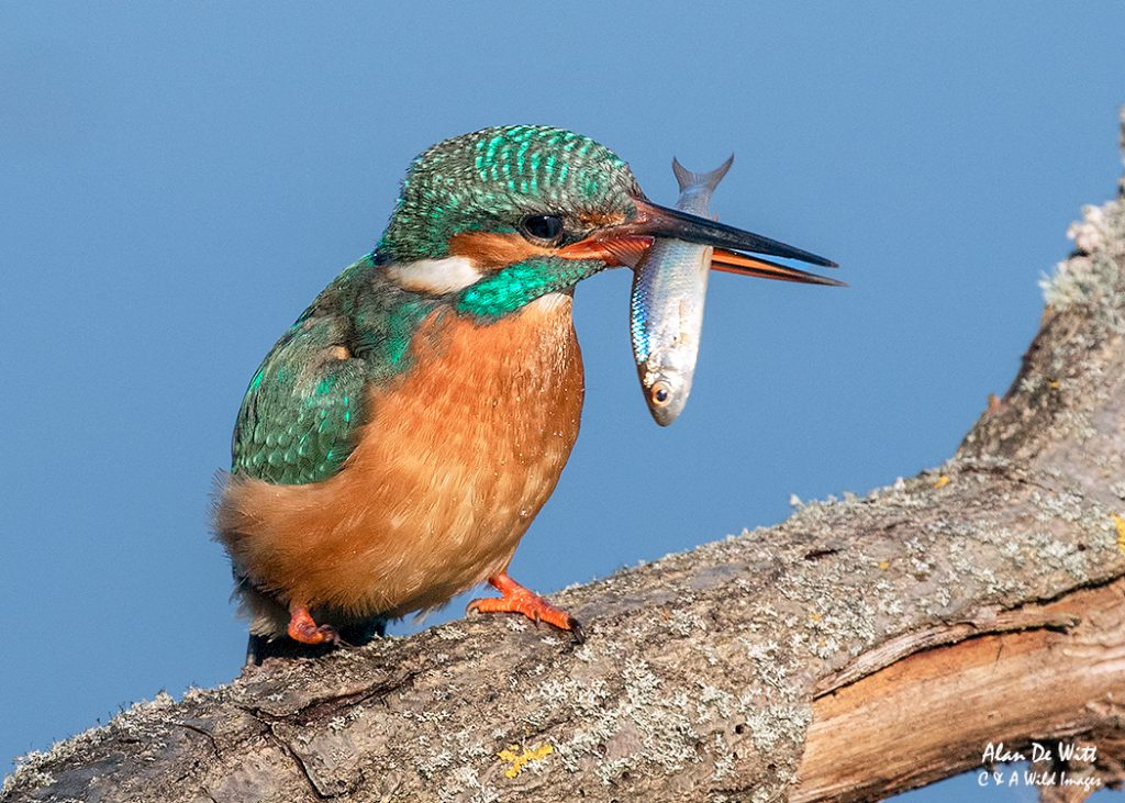Female Kingfisher preparing its meal