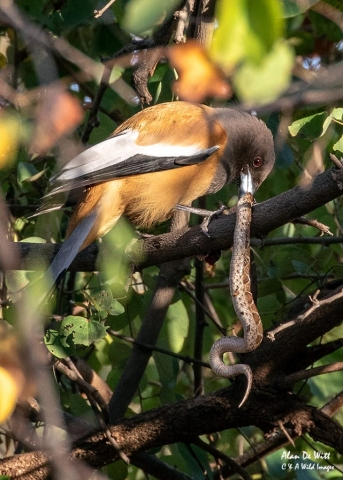 Rufous Treepie eating Russell's Viper