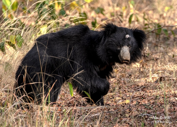 Sloth Bear in Satpura Tiger Reserve