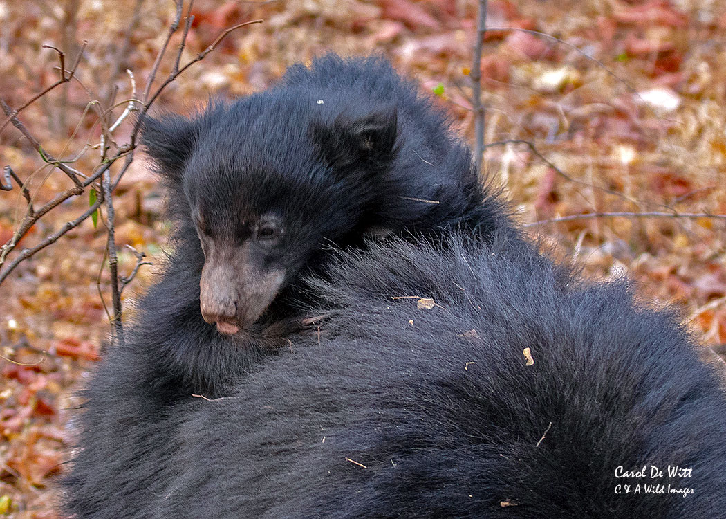 Sloth Bear cub  in Satpura Tiger Reserve