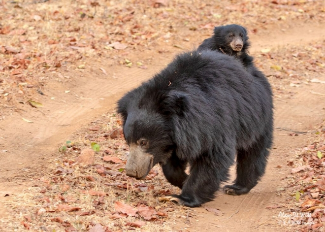 Sloth Bear with cub