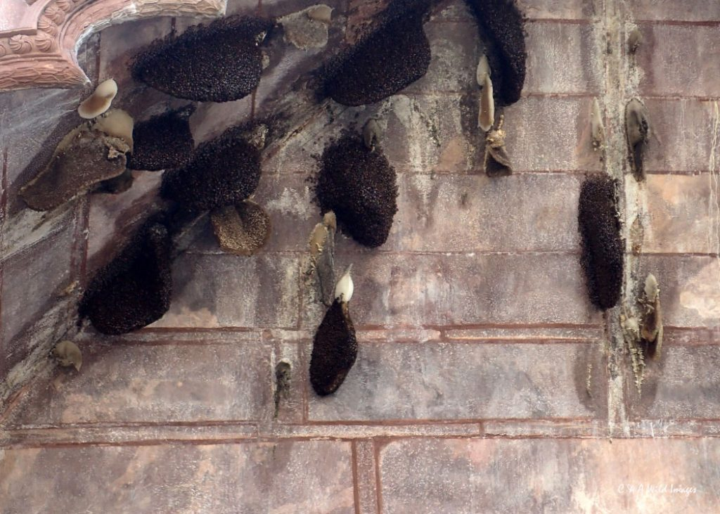 Giant honey bees nests
