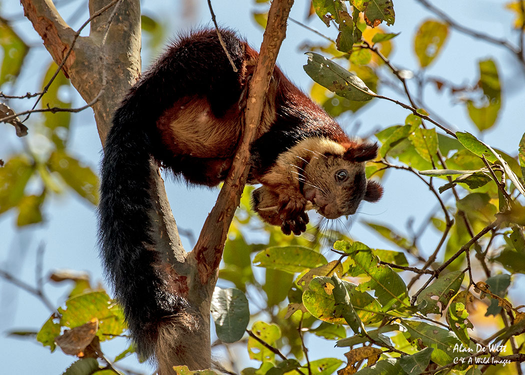 Malabar Giant Squirrel