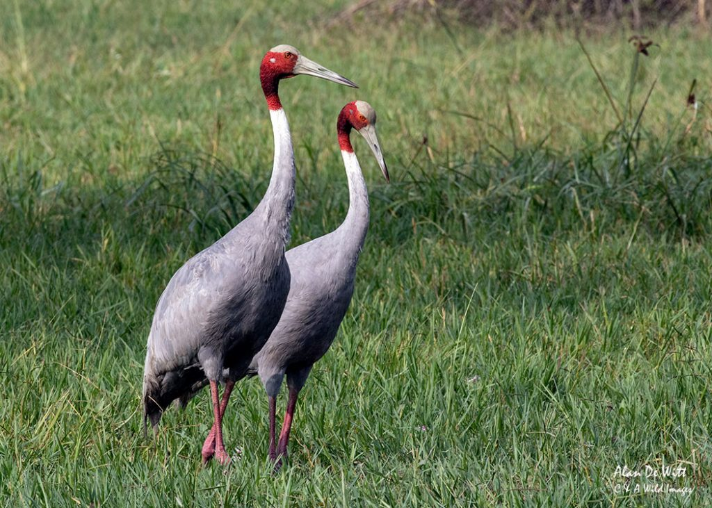 Pair of Sarus Cranes