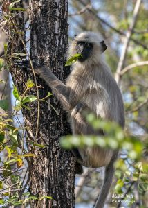 Southern plains Gray Langur feeding